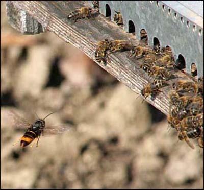 Danger : Le frelon asiatique tueur ne cesse d'agrandir son territoire en France (3/5)
