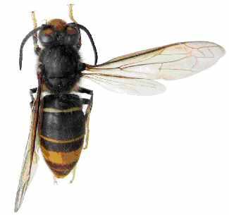 Danger : Le frelon asiatique tueur ne cesse d'agrandir son territoire en France (5/5)